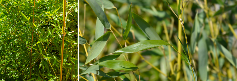 Buy Bamboos for the garden online | Tendercare UK