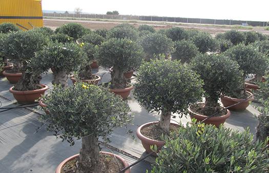 Bonsai olives