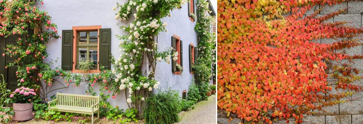 Buy climbers and wall shrubs online | Tendercare UK