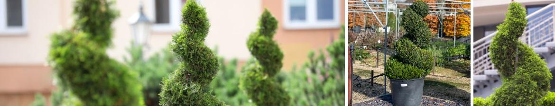 Buy topiary spirals online | Tendercare UK