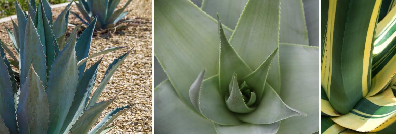 Order Agave plants online | Tendercare UK