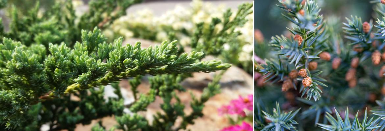 Buy conifer trees online | Tendercare UK