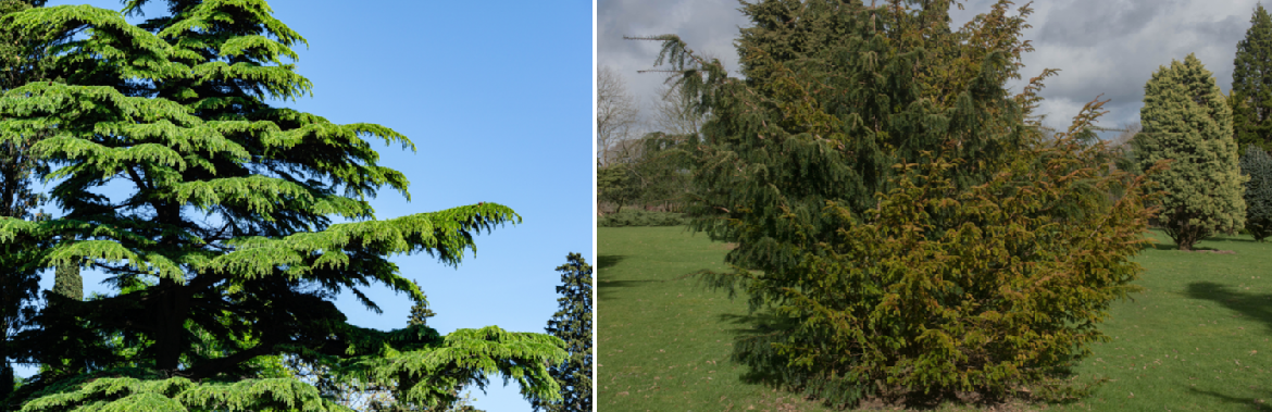 Buy feathered trees and shrubs online | Tendercare UK