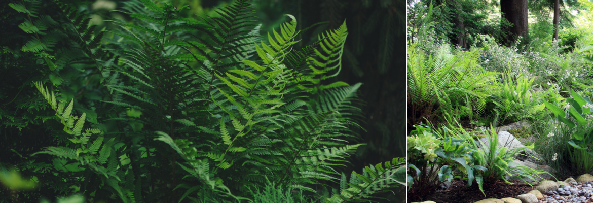 Buy ferns for the garden | Tendercare UK