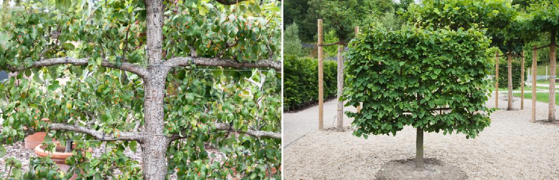 Buy pleached trees online | Tendercare UK