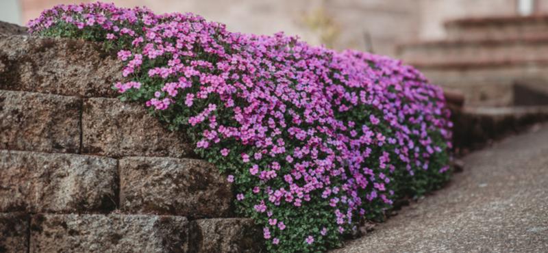 Order ground covering plants online | Tendercare Nurseries