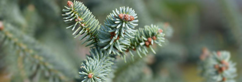 Buy mature evergreen trees | Tendercare UK