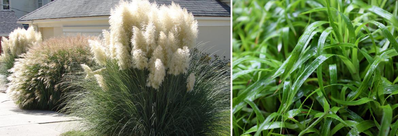 Buy Ornamental Grasses for the Border Online | Tendercare Nurseries
