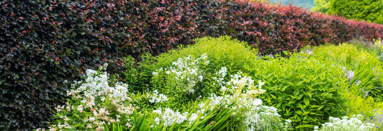 Order your mature screen plants online - Tendercare Nurseries UK