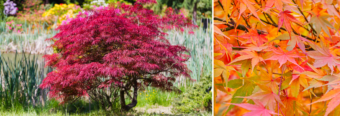 Buy Japanese Acers online | Tendercare UK