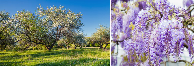 Buy Garden Deciduous Multi-Stem Trees Online | Tendercare UK