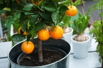 How to care for a citrus tree