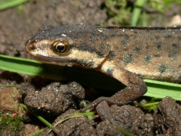 How to encourage newts into your garden?
