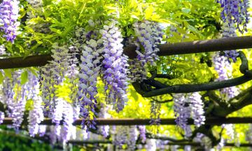 How to grow and prune wisteria
