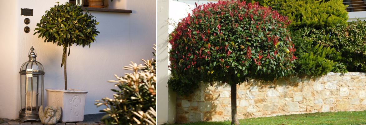 Buy small, but mature evergreen trees online - Tendercare Nurseries