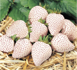 White strawberries - Fragaria x ananassa